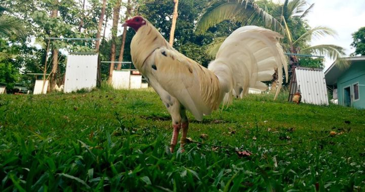 Purebred Warrior's Gamefowl Collections