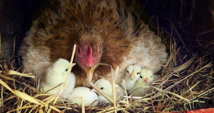 Pure Breed Game Fowl
